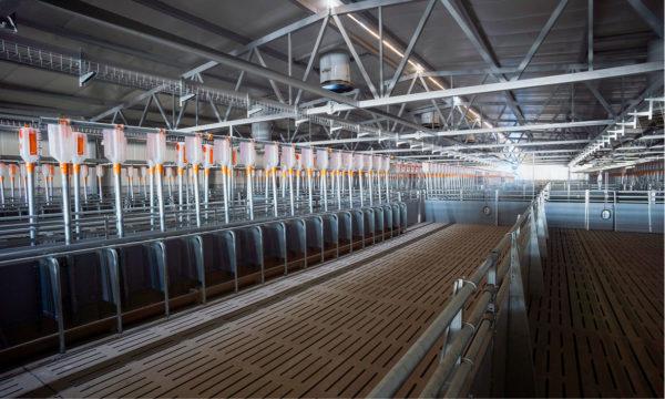 АО «Омский бекон» проводит поэтапную модернизацию свиноводческого комплекса